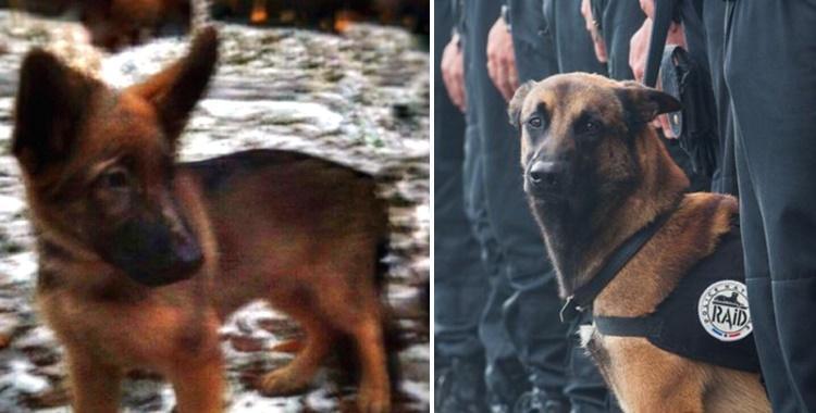 Rusia regalará un perro a Francia para sustituir al que murió durante la redada antiterrorista   El Diario 24