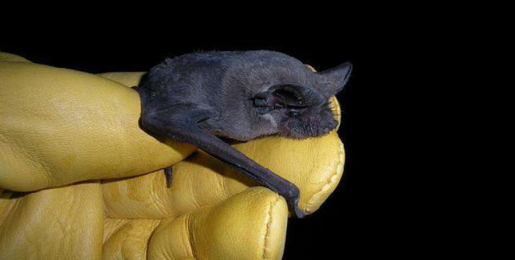 Probaron cuál es el animal que vuela más rápido: el murciélago | El Diario 24