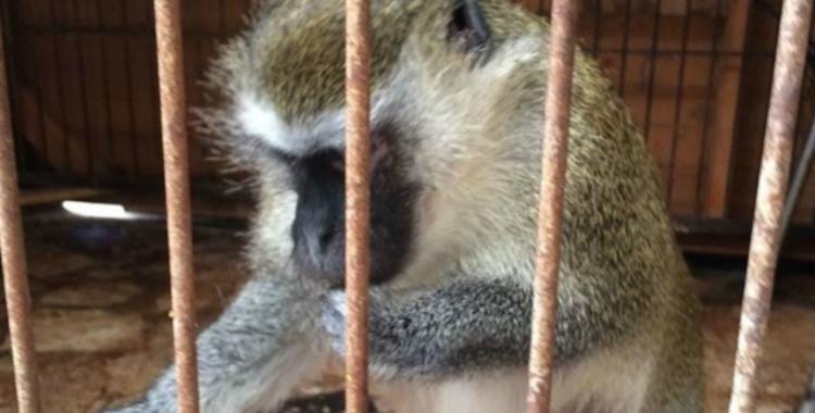 En España buscan a 42 monos tras recuperar uno y descubrir que tiene el virus VIH | El Diario 24