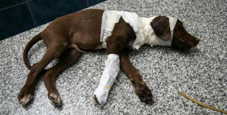 Detienen al hombre que torturó sin piedad al perro Chocolate   El Diario 24