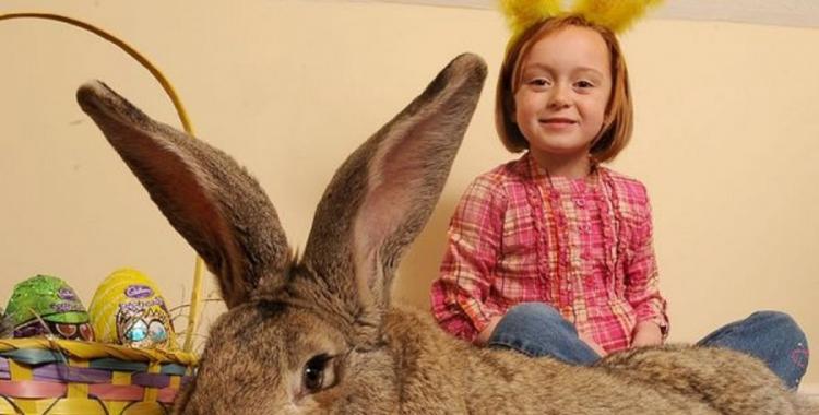 Un conejo iba a ser nombrado como El más grande del mundo pero murió en el camino | El Diario 24