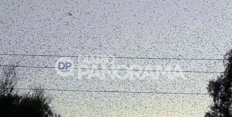 Preocupación en Quimilí por una invasión de langostas | El Diario 24