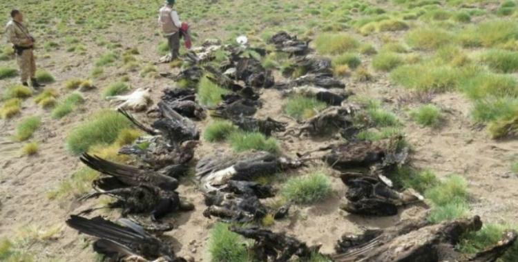 Hallan 34 cóndores muertos en Mendoza: Sospechan que fueron envenenados | El Diario 24
