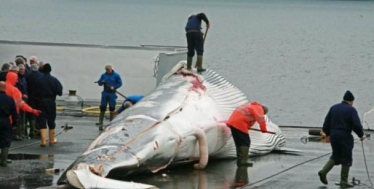 Japón volverá a cazar ballenas para su consumo comercial | El Diario 24