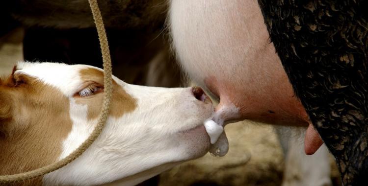 Leche que hasta ahora se descartaba sirve para alimentar terneros | El Diario 24