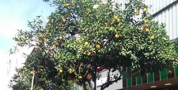 Campaña para promover el consumo de las naranjas agrias: conocé los puntos de distribución gratuitos | El Diario 24