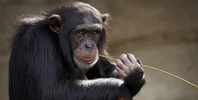 Por qué el 14 de julio es el Día Mundial del Chimpancé   El Diario 24