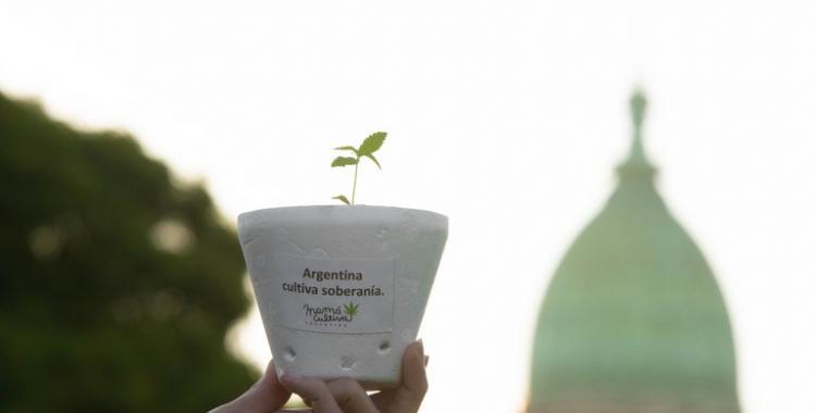 Cannabis medicinal: usuarios terapéuticos podrán cultivar en sus hogares la planta | El Diario 24