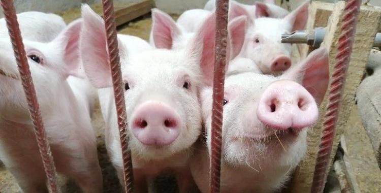 Polémica con China: lanzan una campaña para detener la instalación de granjas de cerdos | El Diario 24