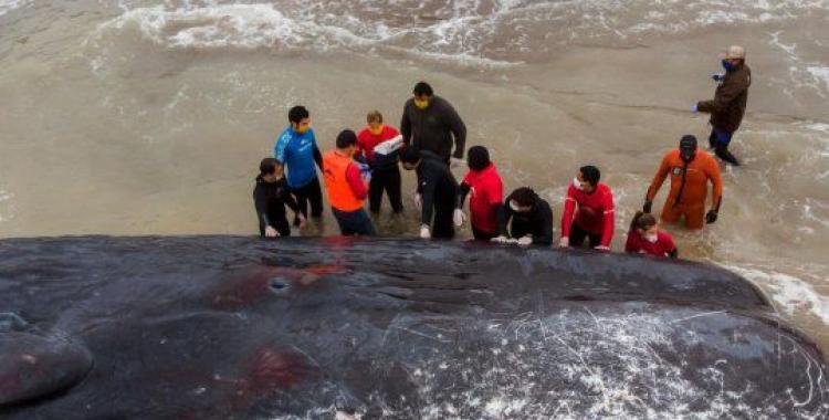Enterrarán en la playa al cachalote que murió varado en la costa | El Diario 24