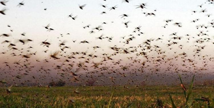 VIDEO: Impresionante invasión de manga de langostas en provincias del norte | El Diario 24