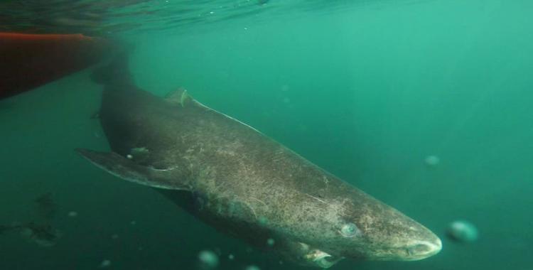VIDEO: Estudian un tiburón que tendría 515 años de vida y aún continúa creciendo   El Diario 24