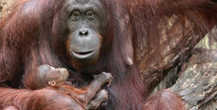Si bajan de los árboles, los monos son almuerzo de tigres | El Diario 24