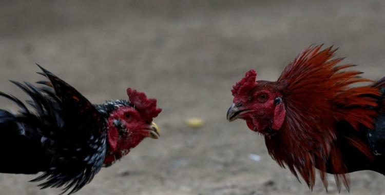 ¿El pollo debe ser electrocutado o ahorcado?: diferencias y similitudes | El Diario 24