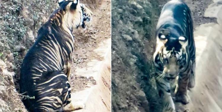 Un aficionado logró fotografiar a un tigre negro, especie al borde de la extinción | El Diario 24