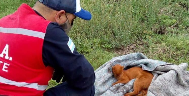 Rescatan a un puma que habría sido atropellado en las cercanías de Ranchillos | El Diario 24