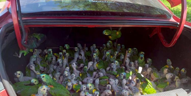 Interceptan un automóvil en el que llevaban 216 loros en el baúl de contrabando | El Diario 24