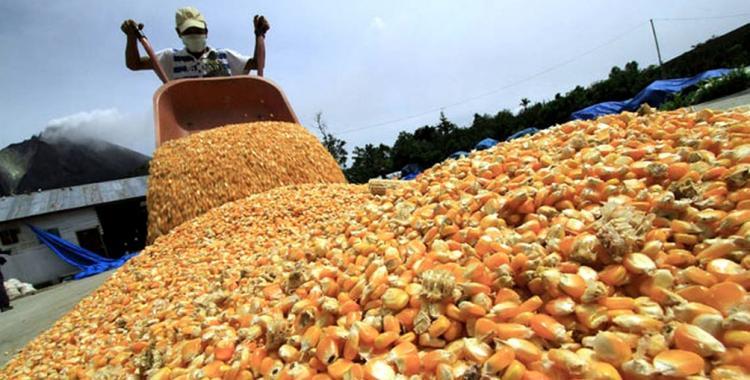 Ruralistas aseguran que se eliminarán las restricciones a la exportación del maíz | El Diario 24