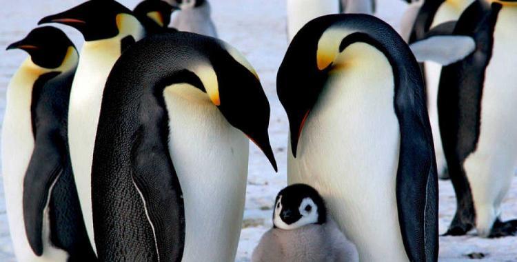 Por qué el 20 de enero es el Día de Concienciación por los Pingüinos | El Diario 24