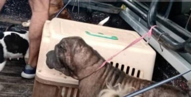 Descubren un criadero clandestino de perros, con 40 animales hacinados   El Diario 24