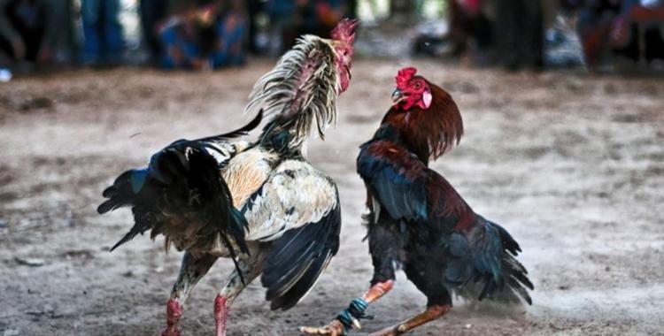 El lado oscuro de la cría de gallos de riña | El Diario 24