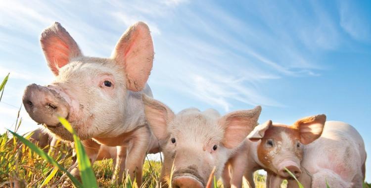 La soja, los cerdos y la democracia de exportación   El Diario 24