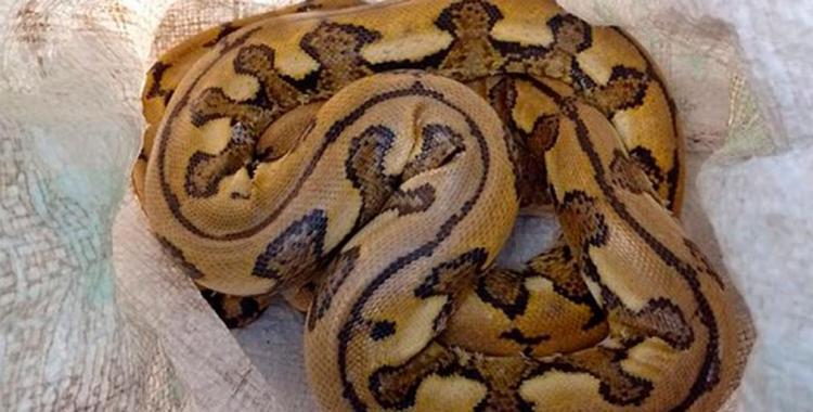 Insólito: Dos hombres fueron demorados al ser descubiertos llevando en un remis dos serpientes pitón   El Diario 24
