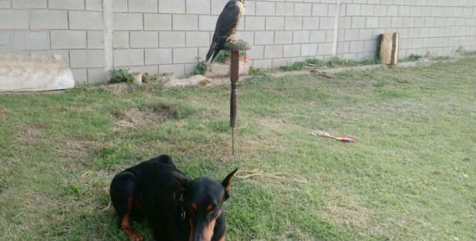 Mataron un perro, desvalijaron una casa y se llevaron hasta un halcón