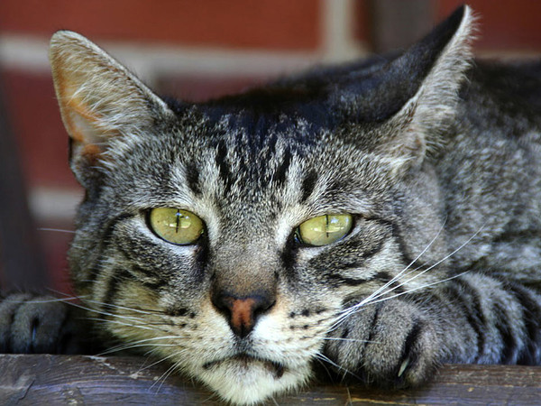 Is Hyperthyroidism In Cats Painful?