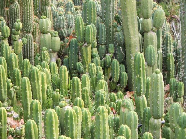 Algunos tipos de cactus podr an extinguirse el diario 24 for Clases de cactus